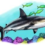 """Caribbean Reef Shark"" by inkart"