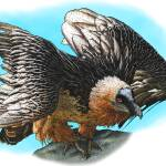 """Bearded Vulture"" by inkart"