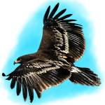 """Greater Spotted Eagle"" by inkart"