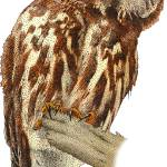 """""""Northern Saw-Whet Owl"""" by inkart"""