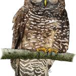 """""""Northern Spotted Owl"""" by inkart"""