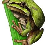 """""""Arizona Tree Frog"""" by inkart"""
