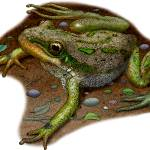 """""""Boreal Chorus Frog"""" by inkart"""