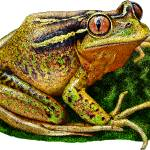 """Chilean Tree Frog"" by inkart"