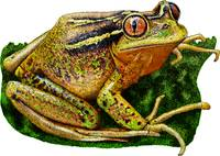 Chilean Tree Frog