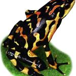 """Costa Rican Variable Harlequin Toad"" by inkart"