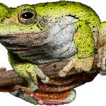 """Eastern Gray Tree Frog"" by inkart"
