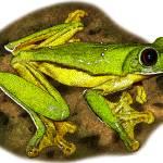 """""""Gliding Treefrog"""" by inkart"""