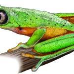 """Lemur Leaf Frog"" by inkart"