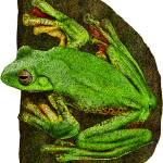 """Malabar Gliding Frog"" by inkart"