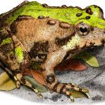 """""""Northern Cricket Frog"""" by inkart"""