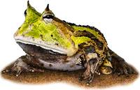 Surinam or Amazonian Horned Frog