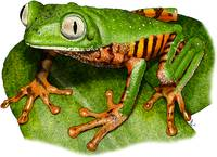 Tiger-Legged Monkey Frog