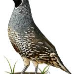 """California Quail"" by inkart"