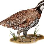 """Northern Bobwhite Quail"" by inkart"