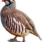 """Red-Legged Partridge"" by inkart"