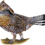 """Ruffed Grouse"" by inkart"