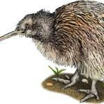 """Southern Brown Kiwi"" by inkart"