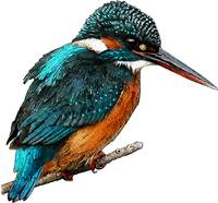 Common or Eurasian Kingfisher