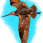 """Marbled Godwit"" by inkart"