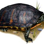 """Florida Red-Bellied Turtle"" by inkart"