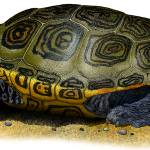 """Northern Diamondback Terrapin"" by inkart"