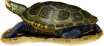 Northern Diamondback Terrapin