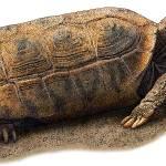 """Bolson Tortoise"" by inkart"