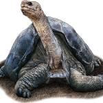"""""""Pinta Island Tortoise"""" by inkart"""