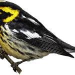 """""""Blackburnian Warbler"""" by inkart"""