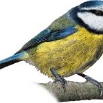 """Blue Tit"" by inkart"