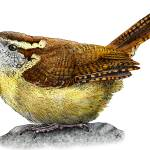 """Carolina Wren"" by inkart"