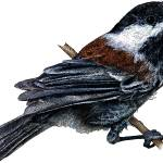"""Chestnut-Backed Chickadee"" by inkart"