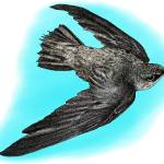 """Chimney Swift"" by inkart"