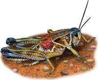 Plains or Western Lubber Grasshopper