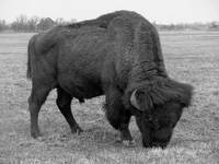 American Bison Feeding