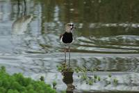 Southern Lapwing Reflected in Water