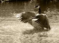 Canada Goose Splashing in Water