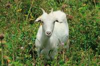 Young White Goat in a Patch of Thorns