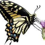 """Anise Swallowtail Butterfly"" by inkart"