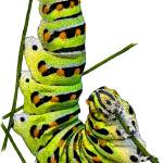 """Black Swallowtail Caterpillar"" by inkart"