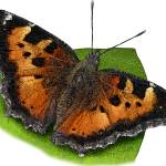 """California Tortoiseshell Butterfly"" by inkart"
