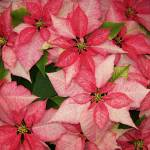 """""""Red and White Pointsetia"""" by longdistgramma"""