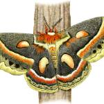 """Cecropia Moth"" by inkart"