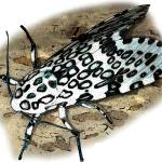 """Giant Leopard Moth"" by inkart"
