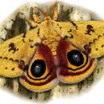 """Io Moth"" by inkart"