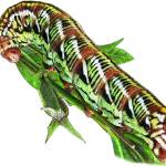 """Banded Sphinx Moth Caterpillar"" by inkart"