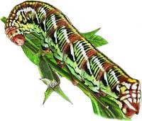Banded Sphinx Moth Caterpillar