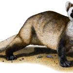 """Black-Footed Ferret"" by inkart"