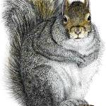 """Eastern Gray Squirrel"" by inkart"